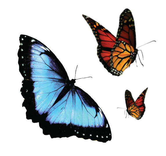 A blue and black Blue Morpho butterfly and two red, orange, and black monarch butterflies