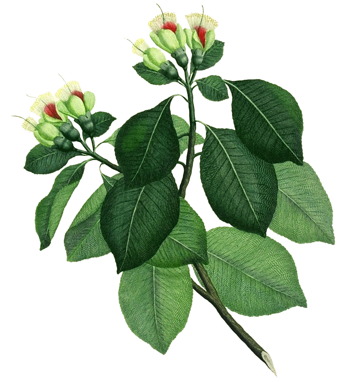 an illustrated plant with several green leaves and 6 flower buds at top