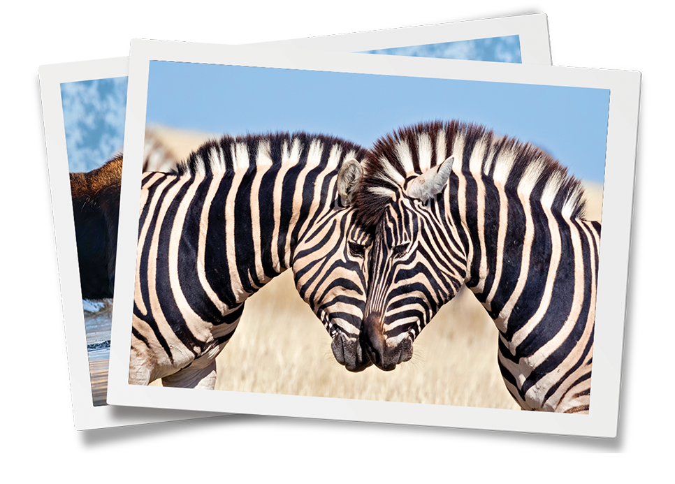A photo of two zebras in a frame