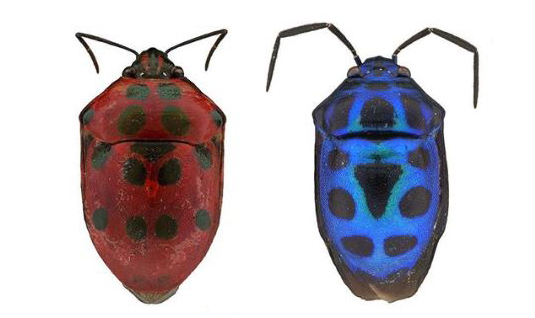 Two Shield Bugs, red and blue