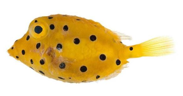 The yellow boxfish (Ostracion cubicus)